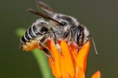Пчела смолы резца лист Стоковые Фото