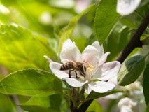 Пчела собирает нектар и цветень на белом цветени вишни с зелеными лучами лист и солнца на предпосылке Тема весеннего дня Стоковые Фотографии RF
