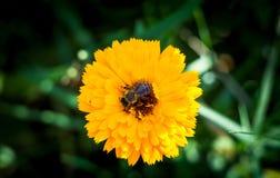 Пчела собирает нектар на красивом желтом цветке Tagetes Compositae Tagetes цветка сада, сложноцветные абстрактная предпосылка Стоковые Фото