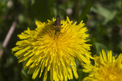Пчела собирает нектар от одуванчика Стоковая Фотография RF
