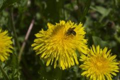 Пчела собирает нектар от одуванчика Стоковое фото RF