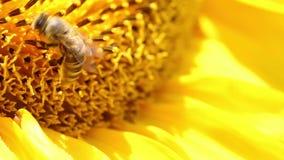 Пчела собирает цветень в солнцецвете сток-видео