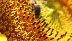 Пчела собирает цветень в солнцецвете видеоматериал