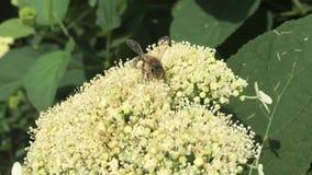 Пчела собирает цветень, естественную природу видеоматериал