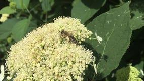 Пчела собирает цветень, естественную природу сток-видео