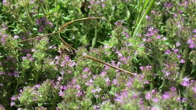Пчела собирает цветень, естественную природу акции видеоматериалы