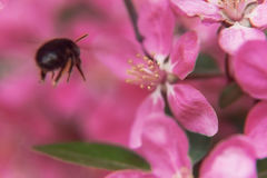 Пчела собирает цветень на розовом красивом рае appl цветков дерева Стоковое Изображение