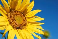 Пчела собирает цветень от желтого солнцецвета стоковая фотография