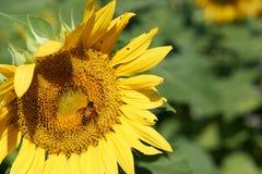 Пчела собирает цветень от желтого солнцецвета стоковое фото