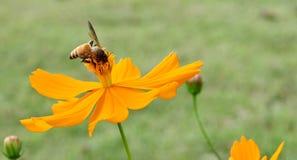 Пчела собирает цветень от желтого цветка стоковое изображение