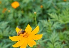 Пчела собирает цветень от желтого цветка стоковое фото
