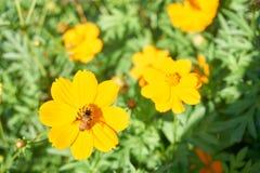 Пчела собирает цветень от желтого цветка стоковая фотография