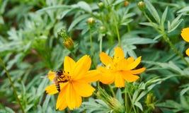 Пчела собирает цветень от желтого цветка стоковые изображения
