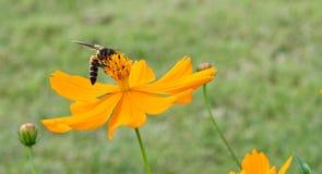 Пчела собирает цветень от желтого цветка стоковые изображения rf
