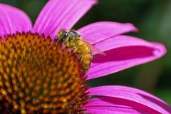 Пчела собирая изображение макроса цветня Стоковое Изображение RF
