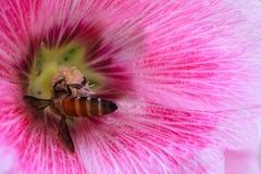 Пчела собирая нектар и цветень в розовом Hollyhock цветут Стоковые Изображения