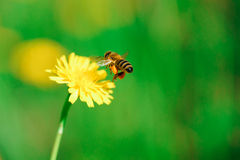 пчела собирая нектар меда цветка одуванчика Стоковое Изображение RF