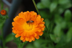 Пчела собирая нектар на цветке calendula Стоковое Фото