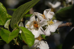 пчела собирая нектар Стоковое Фото