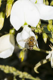 пчела собирая цветень меда стоковое изображение rf
