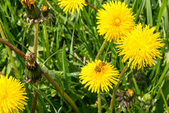 Пчела собирая цветень на поле желтых цветков Стоковые Фото