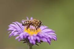 Пчела собирая цветень от фиолетового цветка стоковое фото rf