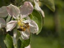 Пчела собирая цветень от цветка яблони Стоковое Изображение