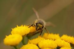 Пчела собирая цветень Стоковое фото RF