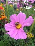пчела собирая цветень стоковое изображение rf