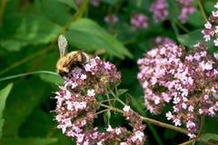 Пчела собирая цветень Стоковые Изображения