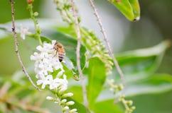 Пчела собирая цветки от меда Стоковая Фотография RF