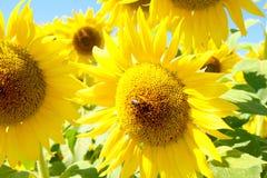 Пчела солнцецвета Стоковые Изображения