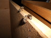 Пчела среди пчел стоковое изображение