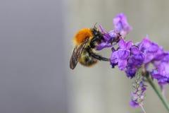 пчела счастливая Стоковые Фотографии RF