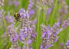 Пчела с лавандой Стоковое Фото