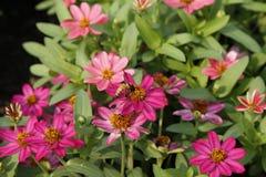 Пчела с классическим Zinnia Стоковые Фото
