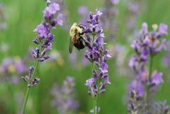 Пчела с фиолетовыми цветками стоковое изображение rf