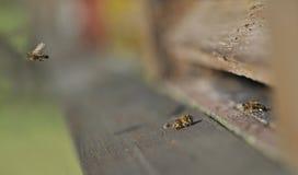 Пчела с цветнем стоковые изображения rf