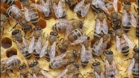 Пчела танцев акции видеоматериалы
