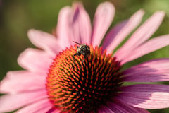 пчела цветет пинк Стоковая Фотография