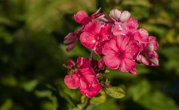 пчела цветет пинк Стоковые Изображения