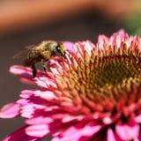 пчела цветка Стоковое Фото