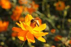 Пчела & цветок Стоковая Фотография