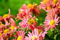 Пчела Стоковое Фото