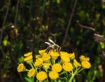 Пчела Стоковая Фотография