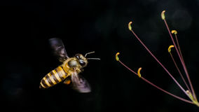 Пчела Стоковые Фотографии RF