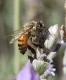 Пчела (Anthophila) Стоковая Фотография