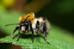 Пчела Bumblee Стоковое Изображение RF