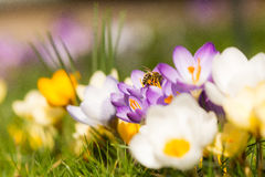 Пчела Colorfull Стоковые Изображения RF