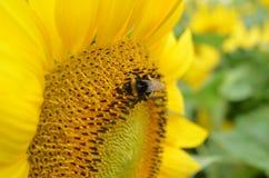Пчела Furano Япония цветка стоковая фотография rf